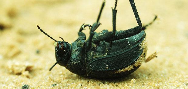 kovaföldtől elpusztult rovar